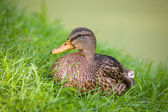 Duck in grass — Stock Photo