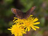 Kelebek ve bir karahindiba — Stok fotoğraf