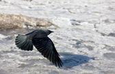 Flight of a jackdaw — Stock Photo