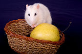 Rat and pear — Stock Photo