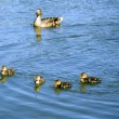 Family of ducks — Stock Photo #3751991