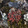 Cladonia coccifera - Stock Photo