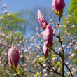 Branch of a magnolia — Stock Photo #3755667