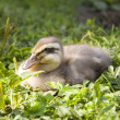 Stock Photo: Nestling of eider