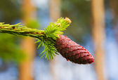 Fur-tree branch with cone — ストック写真