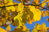 Oak leaves — Stock Photo