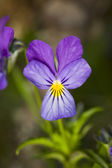 Wild violet close up — Stock Photo