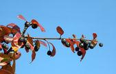 Branch of black chokeberry — Stock Photo