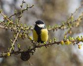 Titmouse in the spring — Stock fotografie