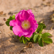 Stock Photo: Dogrose