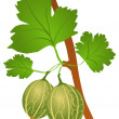 Stock Vector: Gooseberry