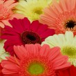 Pink white red gerbera daisy flowers - Stock Photo