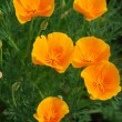 Yellow california poppy flower — Stock Photo