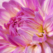 Pink White Dahlia Flower - Stock Photo