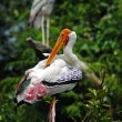 White Painted Stork Migratory Bird isolated — Stock Photo