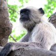 Hairy monkey black langur animal thinking — Stock Photo