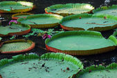 Water lily leaves — Stock Photo