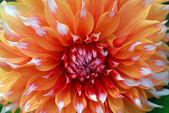 Orange white Dahlia Flower — Stock Photo