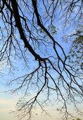 Dry Tree — Stock Photo
