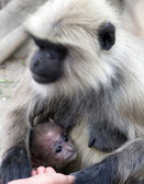 Hairy monkey black langur animal — Stock Photo
