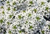 белый иберис sempervirens цветок — Стоковое фото