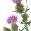 Stock fotografie: Thistle