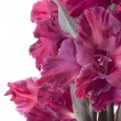 Stock Photo: Gladiolus