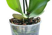 Flowerpot rhizome — Stock Photo