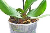 Flowerpot rhizome 2 — Stock Photo