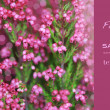 Royalty-Free Stock Photo: Pink heather