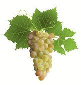 White grape — Stock Vector