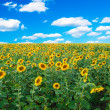 Bright field of sunflowers — Stock Photo #2965210
