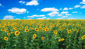 Bright field of sunflowers — Foto Stock