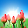 Young red tulips against the blue sky — Stock Photo