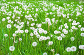 Green field with white fluffy dandelions — Stock Photo