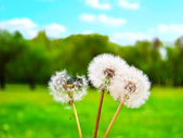 White fluffy dandelions — Stock Photo