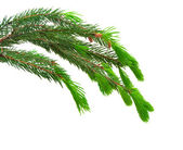 The green spruce branches — Stock Photo