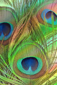 Bright feathers of a peacock close up — Foto Stock