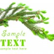 Stock Photo: The green spruce branch on a white background