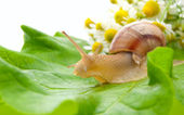Snail creeping on leaf with a bouquet of camomiles — Stock Photo