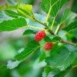 Mulberry berries ripen on a tree — Stock Photo