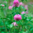 Pink flowers with green clover leaves — Stock Photo