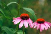 Duas flores brilhantes de echinacea — Foto Stock