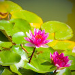 Two pink water lilies in a pond — Stock Photo #3882762