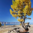 Freaky larch tree on the sand - Stock Photo