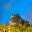 Royalty-Free Stock Photo: Moor frog