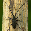 Capricorn beetle — Foto de Stock