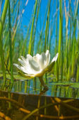 How the water-lily grow — Stock Photo