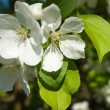 Wild apple-tree flowers — Stock Photo