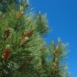 Pine branches — Stock Photo #3503721